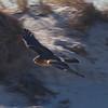 Northern Harrier in Flight - Jones Beach, Long Island, NY; 11/23/16