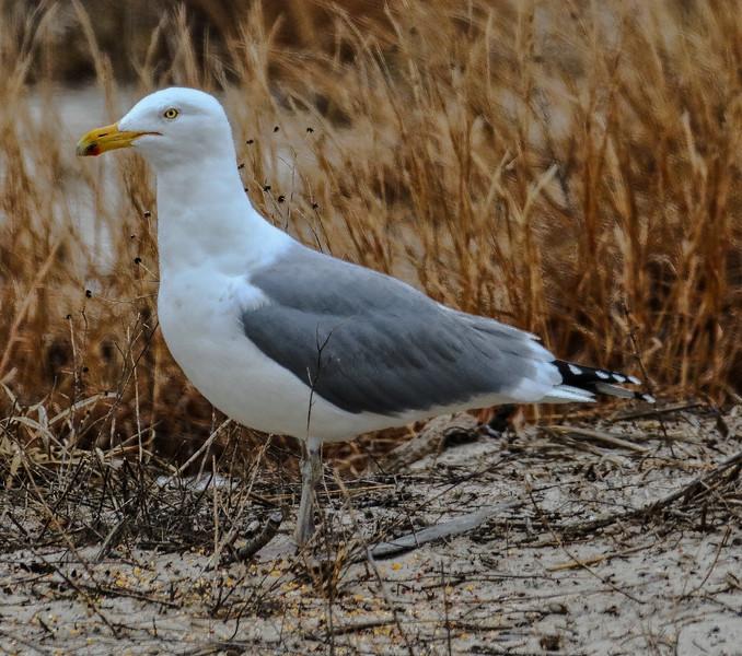 Herring Gull (Spotless) - Jones Beach, Long Island, NY; 3/25/17