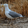 Herring Gull (Spotless) - Jones Beach, Long Island, NY; 3/25/17