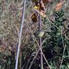 Orange Crowned Warbler - Kiseena Park, Queens, NY; FALL 2013