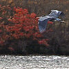 Geat Blue Herons Flying - Cold Spring Harbor, Long Island, NY; 11/22/16