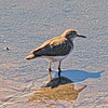 Solitary Sandpiper - Jones Beach, New York; 8/23/16