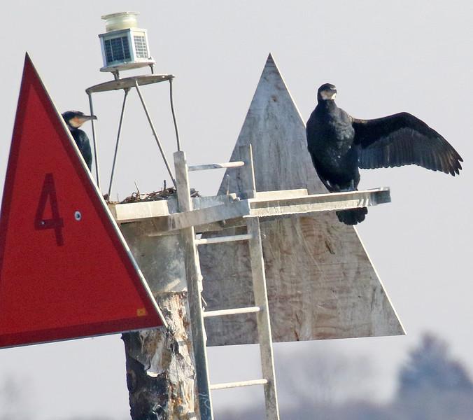 Great Cormorants - Jones Beach, Long Island, NY; 2.18.17
