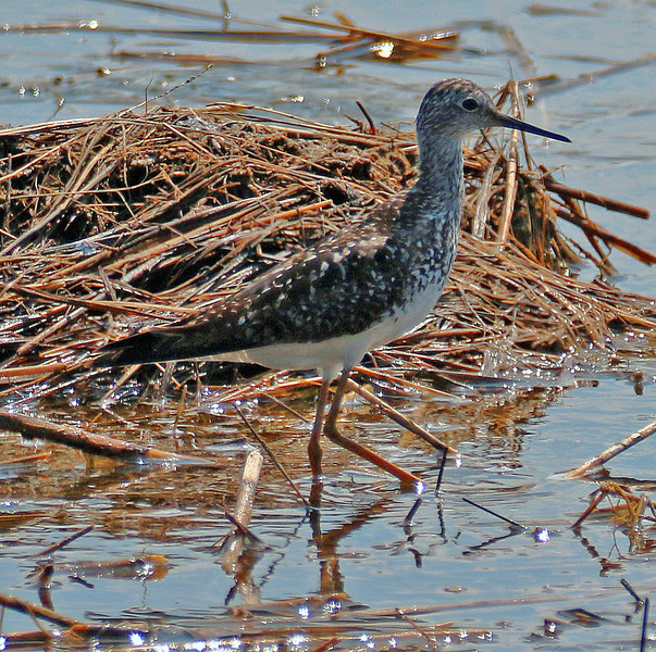 Lesser Yellowlegs - Lido Beach, Long Island, NY; 7/13/16