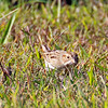 Clay Colored Sparrow - Jones Beach, Long Island, NY; 10/15/16