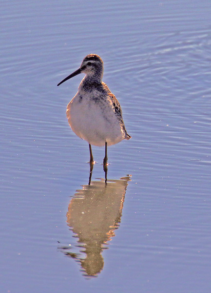 Stilt Sandpiper - Jones Beach, New York; 8/25/16