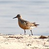 Red Knot - Jones Beach, New York; 8/17/16