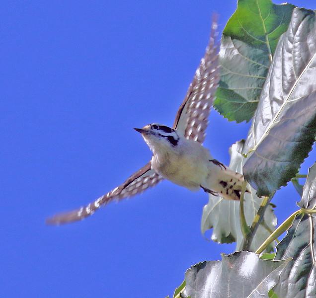 Downy Woodpecker - Kissena Corridor, Queens, NY; 9/26/16
