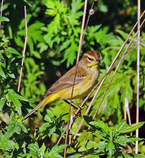 Palm Warbler - Kissena Corridor, Queens, NY; 9/26/16
