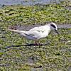 Forsters Tern: Oceanside Marine Study Area, Long Island, NY;  Summer, 2014