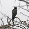 Peregrine Falcon - Jamaica Bay Wildlife Preserve, Queens, NY; 9/16/17