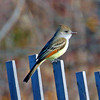 Ash Throated Flycatcher  1 - Lido Beach Park West, Long Island, NY; 11/19/16