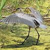 Great Blue Heron Spreading Wings