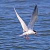 Forsters Tern - Jones Beach, Long Island, NY; 6/25/16