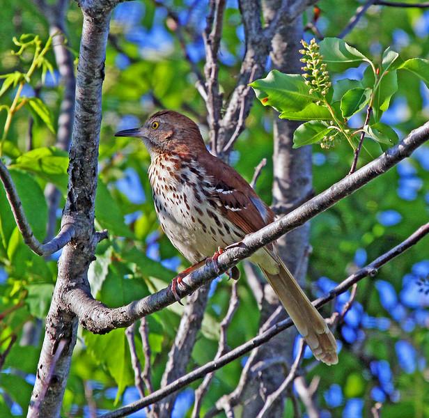 Brown Thrasher - Jamaica Bay Wildlife Preserve, Queens, NY; 6/7/14