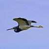 TriColored Heron - Lido Beach, Long Island, NY; 7/13/16