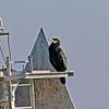 Great Cormorant - Jones Beach, Long Island, NY; 2.18.17