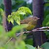Connecticut Warbler - Kissena Corridor, Queens, NY; 9/24/16