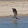 Black Skimmer - Jones Beach, Long Island, NY; 6/25/16