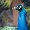 Peacock, San Francisco Zoo