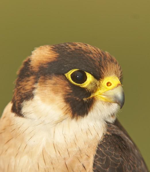 Falconiformes. sub Falconidae - sub fam Falconinae - gênero Falco 621445216_AE9o5-L-1