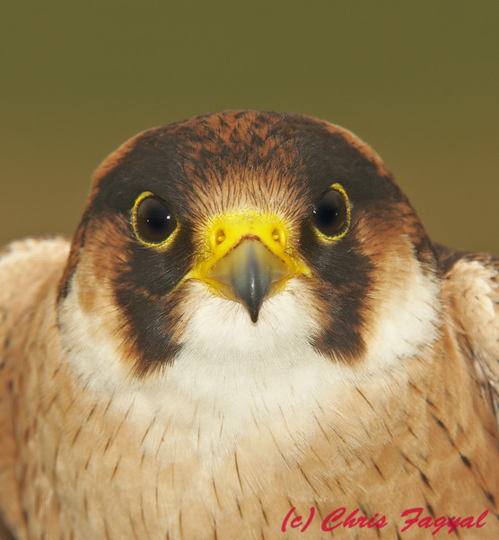 Falconiformes. sub Falconidae - sub fam Falconinae - gênero Falco 621445956_FmG8Z-L-1