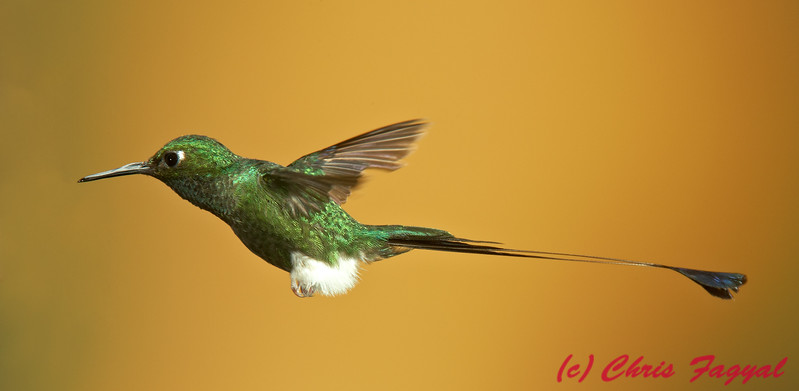 Booted Raquet-tail at Tandayapa Lodge in Ecuador