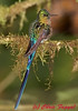 Violet-tailed Sylph at Tandayapa Lodge