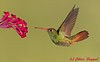"Rufous-Tailed Hummingbird  <font color=""#F00"">Published in a Pyrograph by <a href=""http://www.juliebender.com""><font color=""#FF0"">Julie Bender</font></a>(In Progress)</font>"