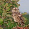 Burrowing Owl in Chapada dos Guimarães in Brazil