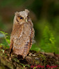 Tropical Screech-Owl baby just after fledging.