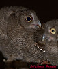 Eastern Screech-Owlets.  This is a closeup of multiple babies in a birdbath.  I liked this little guy with his mouth open...
