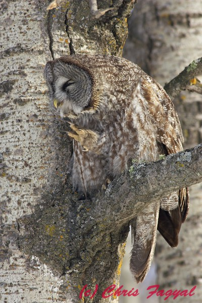 Great Grey Owl preening.