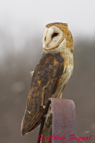 Barn Owl in snow.