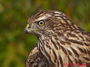 Northern Goshawk.  This bird was in a banders hand after a capture during the spring at Hawk Ridge.