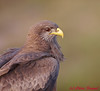 Yellow-billed Kite.  It was sitting on the railing at the bridge to Oliphants in Kruger's.  I decided to take head and shoulder shots to avoid the railing.