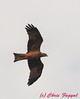 Black (Yellow-billed) Kite