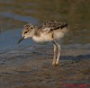 Black-necked Stilt chick
