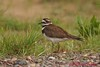 Killdeer in Sherburne National Wildlife Refuge