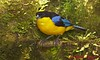 Blue-winged Mountain Tanager at Mindo Lindo in Ecuador