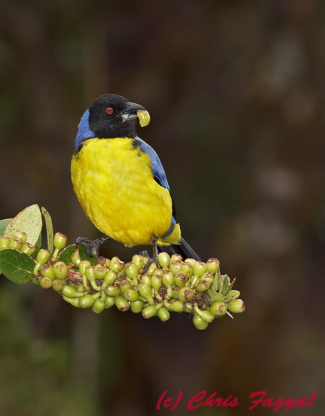 Hooded Mountain-Tanager at Yanacocha