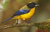 Black-chinned Mountain-Tanager at Mindo Lindo in Ecuador