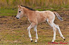 Konik Pony fawn captured at RSPB Minsmere.