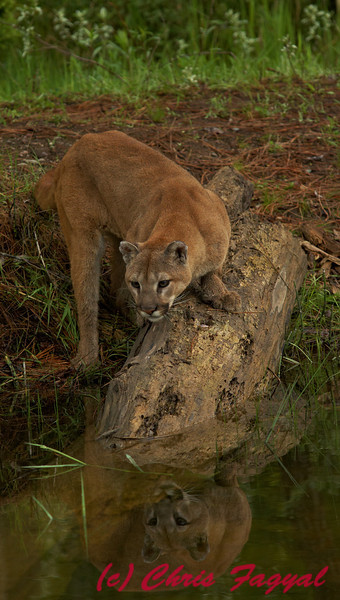 Mountain Lion (c)