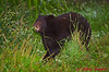 Black Bear cub sampling the local vegetation.