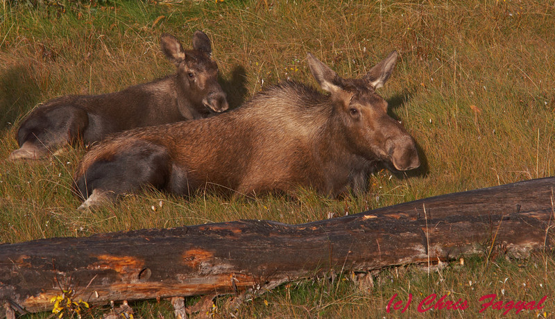 American Moose mom and calf in Jasper National Park