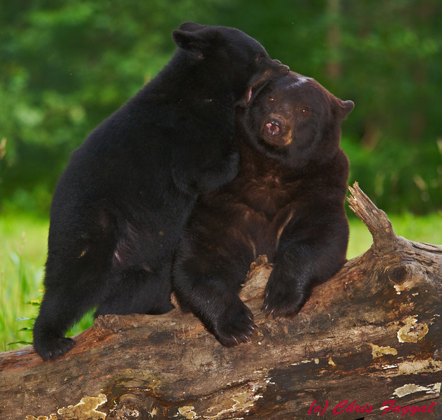 Black Bear cub and mom together.