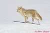 Coyote in the snow at Yellowstone