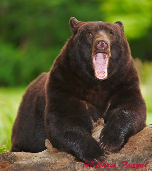 Black Bear yawning