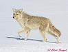 Coyote in snow in Yellowstone National Park.